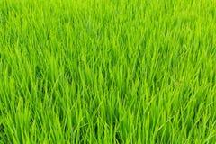 Zielony pole wysoka trawa Natura Fotografia Royalty Free