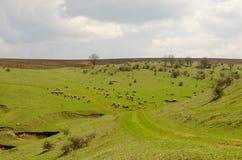 Zielony pole z cakla stadem Obraz Stock