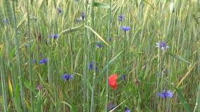 Zielony pole zimy banatka w lecie Czerwoni maczki i błękitów kwiaty pszczo?y zbieraj? mi?d zbiory wideo