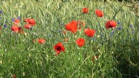 Zielony pole zimy banatka w lecie Czerwoni maczki i błękitów kwiaty pszczo?y zbieraj? mi?d zdjęcie wideo