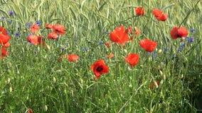 Zielony pole zimy banatka w lecie Czerwoni maczki i błękitów kwiaty pszczo?y zbieraj? mi?d zbiory
