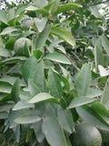 Zielony pomarańcze zrozumienie na pomarańczowym drzewie zdjęcie stock