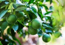 Zielony pomarańczowy obwieszenie na drzewie z liśćmi w słońcu zdjęcia royalty free