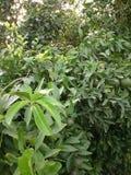 Zielony pomarańcze drzewo fotografia stock