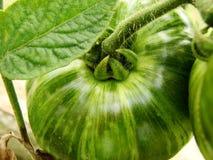 zielony pomidor Zdjęcie Stock