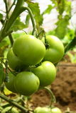 zielony pomidor Zdjęcia Stock