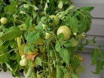 zielony pomidor Zdjęcia Royalty Free
