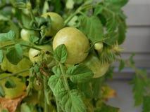 zielony pomidor Obraz Royalty Free