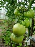 Zielony pomidor dojrzewa na gałąź Obraz Royalty Free