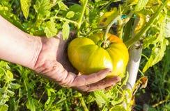 Zielony pomidor na roślinie Zdjęcia Royalty Free