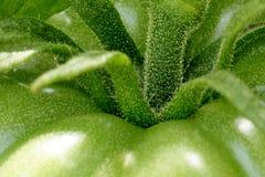 Zielony pomidorowy makro- Obrazy Royalty Free