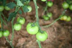 Zielony pomidoru ogród Fotografia Stock