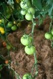 Zielony pomidoru ogród Obraz Royalty Free