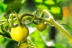 Zielony pomidoru tło Zdjęcia Royalty Free