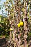 Zielony pomidoru zrozumienie na gałąź Zdjęcia Stock