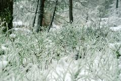 Zielony porośle pod pierwszy śniegiem obraz stock