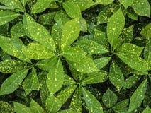 Zielony Pothos tekstury tło fotografia stock
