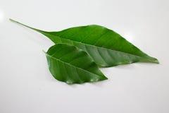 Zielony prowadzenie Indiański korkowy drzewo Zdjęcia Royalty Free