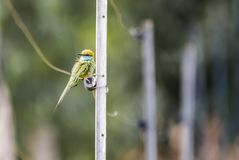 Zielony pszczoła zjadacz Na ogrodzeniu - obrazy stock