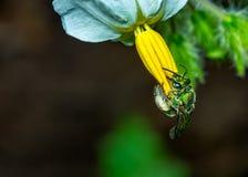 Zielony pszczoły Euglossa sp zapyla białego kwiatu z żółtych stamens fotografii os makro- naturą zdjęcia stock