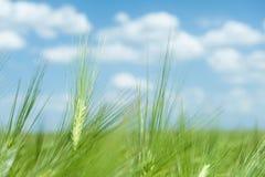 Zielony pszenicznego pola i niebo wiosny krajobraz Obraz Royalty Free