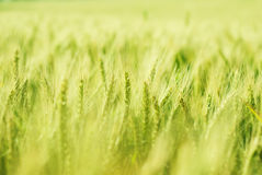 Zielony pszeniczny pole Obraz Royalty Free