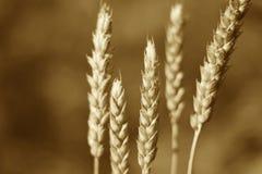 Zielony pszeniczny kolec, sepiowy wizerunek Obraz Royalty Free