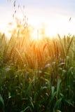 Zielony pszeniczny pole Fotografia Stock