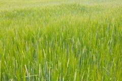 Zielony pszeniczny pole Zdjęcie Stock