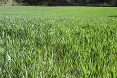Zielony pszeniczny pole Obraz Stock