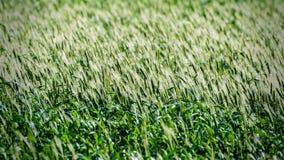 Zielony pszeniczny pole 4 Obrazy Royalty Free