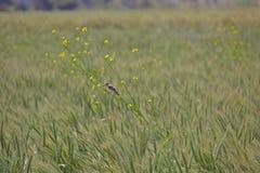 Zielony pszeniczny pole i ptak zdjęcia royalty free