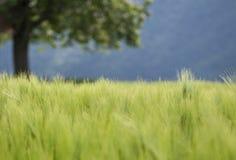 Zielony pszeniczny pole i zamazany drzewo w tle Obraz Stock