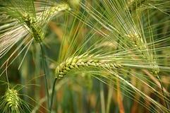 Zielony pszeniczny pole w wiośnie lub wczesne lato, zbliżenie kolec zdjęcie royalty free
