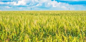 Zielony pszeniczny pole z niebieskim niebem w tle Zdjęcie Royalty Free