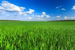 Zielony pszeniczny rolnictwa pole, niebieskie niebo i zdjęcia royalty free