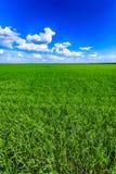Zielony pszeniczny rolnictwa pole, niebieskie niebo i fotografia royalty free