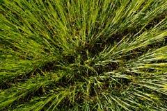 Zielony pszeniczny trawy dorośnięcie w śródpolnej tło teksturze Zdjęcie Stock