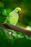 Zielony ptak w zielonej roślinności Papuzi obsiadanie na drzewnym bagażniku z gniazdową dziurą Upierścieniony Parakeet, Psittacul obrazy stock