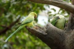 zielony ptaka lory Obrazy Stock