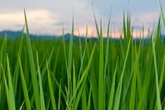 Zielony Rice Pola Zakończenie Zielony Fotografia Royalty Free