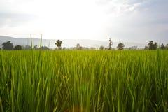 Zielony Rice Pola Zakończenie Zielony Obrazy Royalty Free
