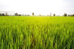 Zielony Rice Pola Zakończenie Zielony Zdjęcia Royalty Free