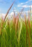 Zielony Rice Pola Zakończenie Zielony Fotografia Stock