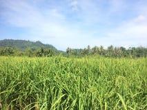 Zielony Rice pole z zieleni niebieskim niebem i liśćmi zdjęcie royalty free