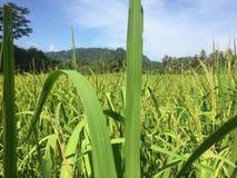 Zielony Rice pole z zieleni niebieskim niebem i liśćmi obraz royalty free