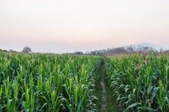 Zielony rolnictwo śródpolnej kukurudzy teren Obraz Stock