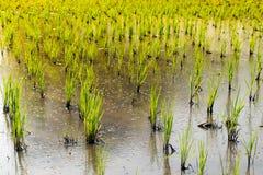 Zielony ryżowy sapling w polu uprawnym - rolnictwo w Tajlandia Fotografia Stock