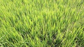 Zielony ryżu pole, mornign czas zdjęcie wideo