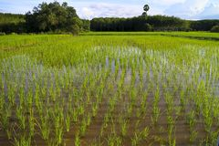 Zielony ryżu pole w południowym Thailand obrazy royalty free